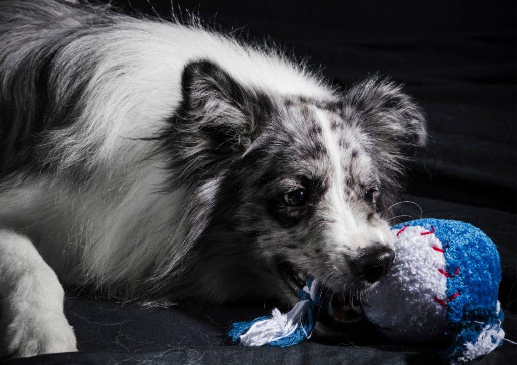 狗狗啃咬玩具